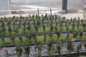 Skwer w Radlinie - rzędy krzewów